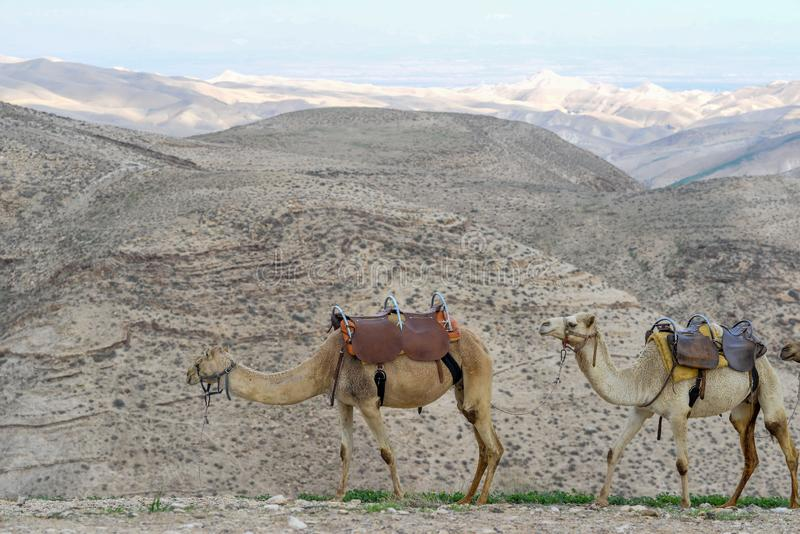 Camels in Judah desert stock images