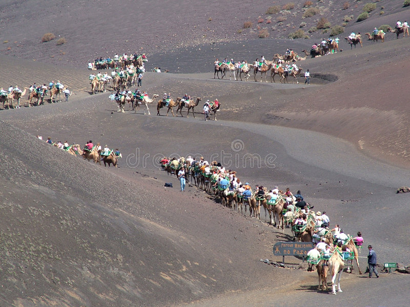 Camels in a line. In Lanzarote island - Canary royalty free stock images