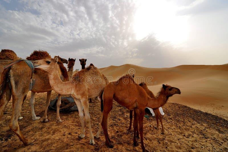 Camels in Liwa desert. In Abu Dhabi United Arab Emirates royalty free stock images