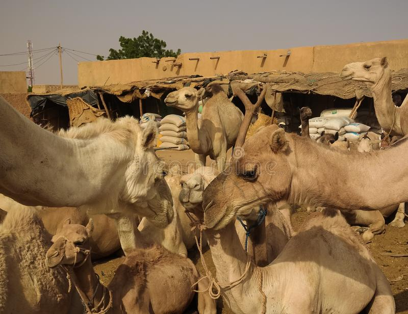 Camels at the Local cattle market in Agades, Air, Niger. Camels at the Local cattle market in Agades at Air, Niger royalty free stock image