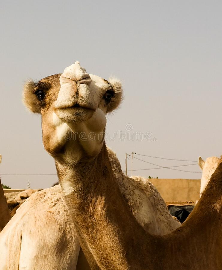Camels at the Local cattle market in Agades, Air, Niger. Camels at the Local cattle market in Agades at Air, Niger royalty free stock images