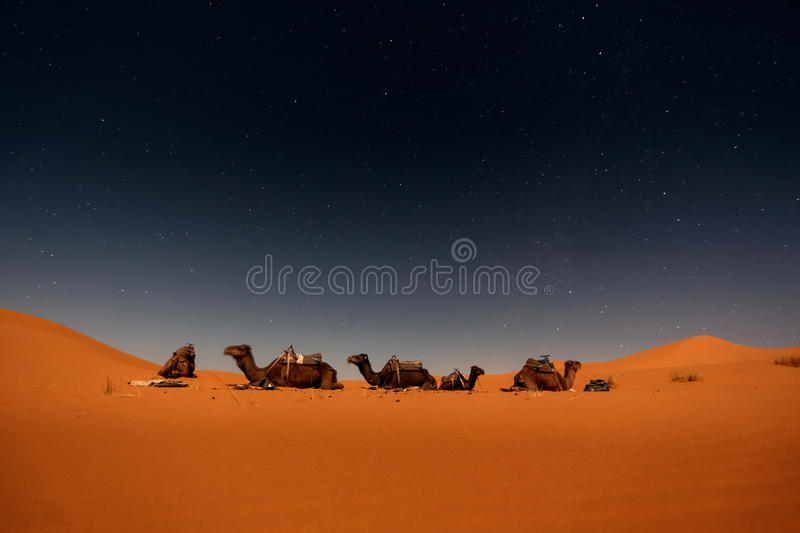 Camels in Merzouga dunes. Camels in Merzouga desert dunes at night, Morocco. Long exposure stock photography
