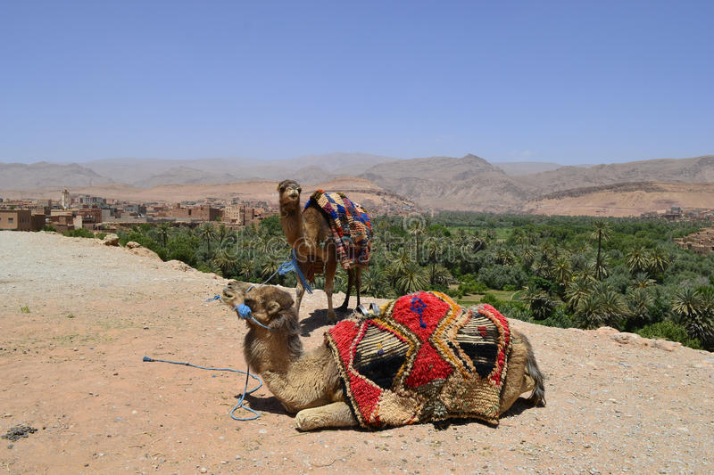 Camels in Morocco stock photography