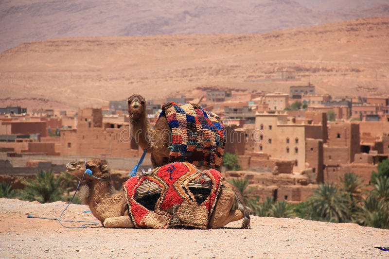 Camels in Morocco royalty free stock photography