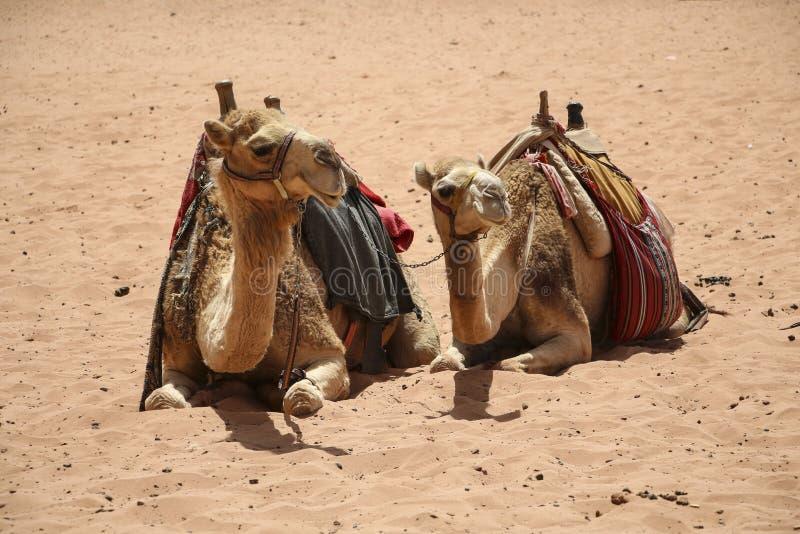Camels rest on the sand in the desert Wadi Rum,Jordan stock photo
