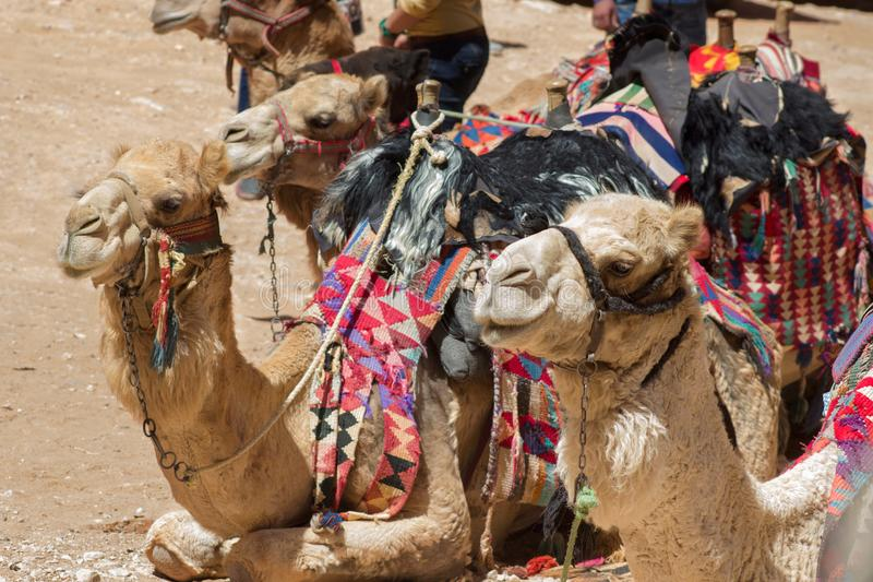 Camels rest, waiting for tourists wishing to ride stock image