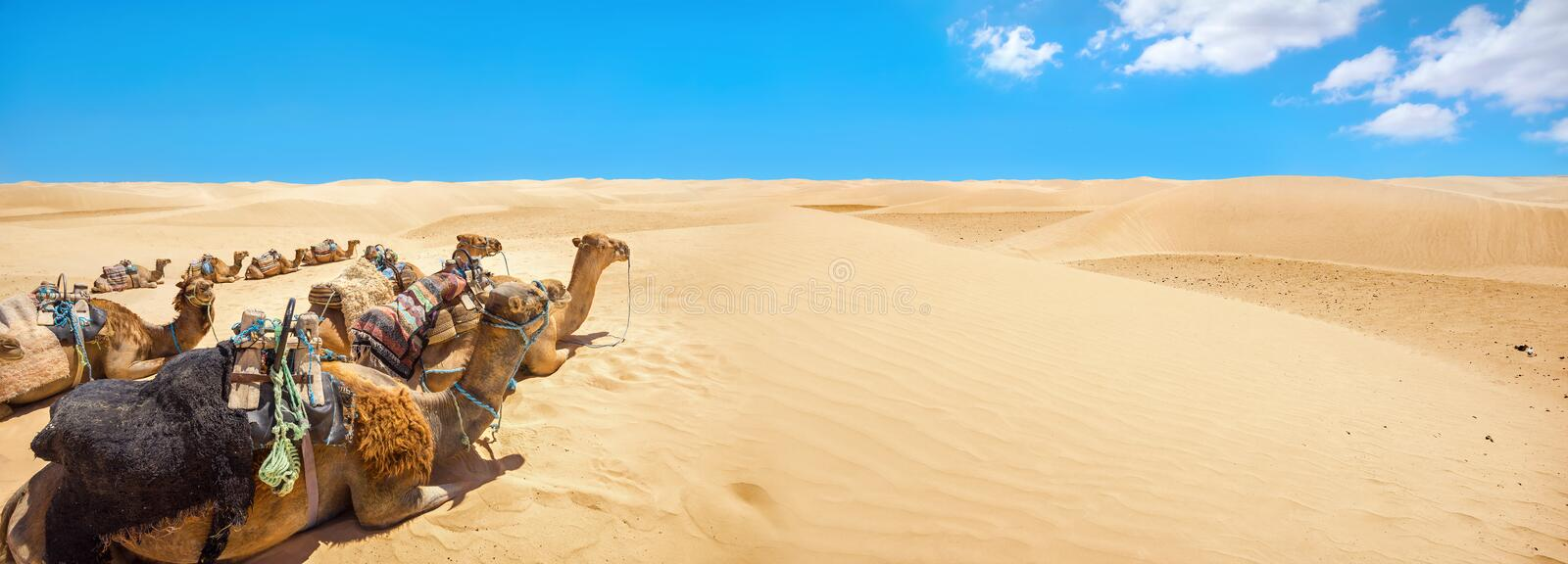 Camels are resting during break time, waiting of tourists. Sahara desert. Tunisia, North Africa. Panoramic landscape with camels waiting of tourists at Sahara stock image