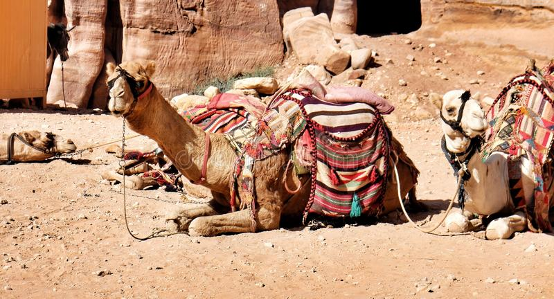 Camels are resting from carrying tourists through Wadi Musa to Petra, famous world heritage in Jordan. royalty free stock photo