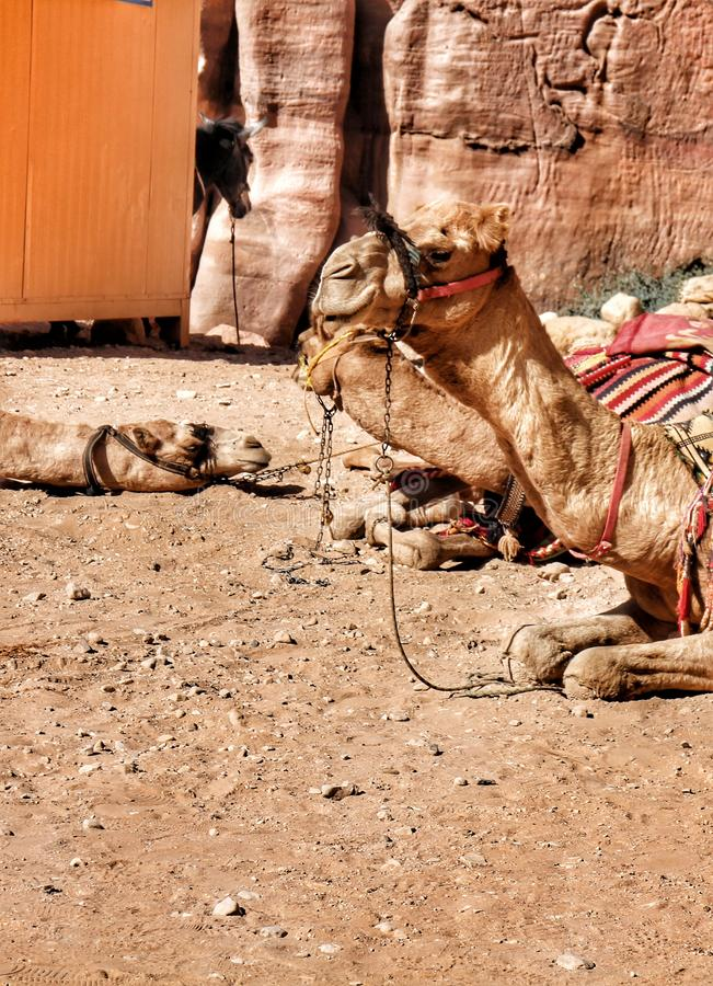 Camels are resting from carrying tourists through Wadi Musa to Petra, famous world heritage in Jordan. royalty free stock images