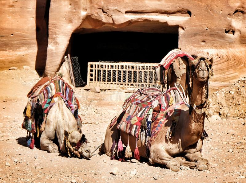 Camels resting from their work carrying tourists through the Wadi Musa to Petra, Jordan& x27;s modern world wonder. royalty free stock photo