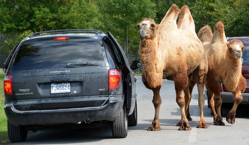 Camels ride around cars stock photo