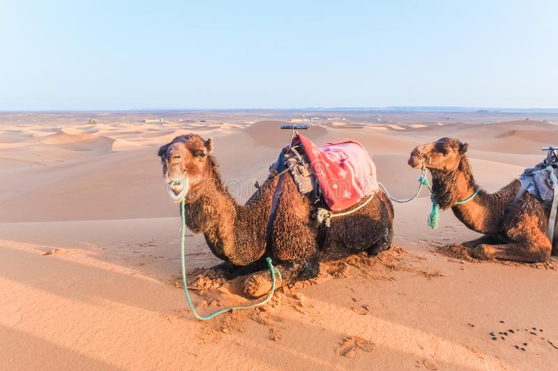 Camels with saddle on the back lying on a sand dune in the Sahara desert, Merzouga, Morocco. Camels with saddle on the back lying on a sand dune in the Sahara stock image