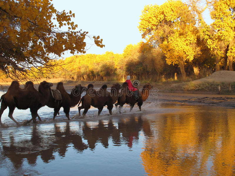 Camels safari royalty free stock photos