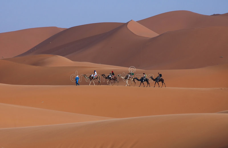 Camels in the sahara royalty free stock image