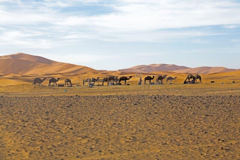 Download Camels In Sahara Desert In Morocco Stock Photo - Image of arabia, camel: 34952836