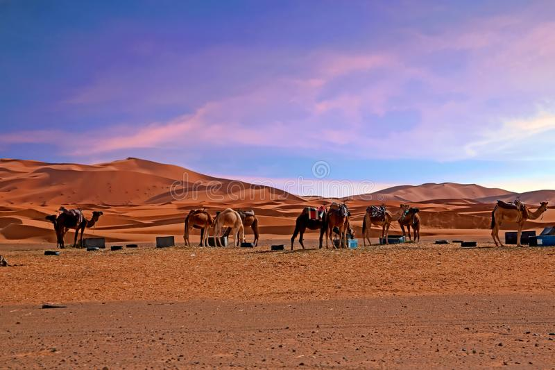 Camels in the Sahara desert from Morocco Africa. At sunset royalty free stock images