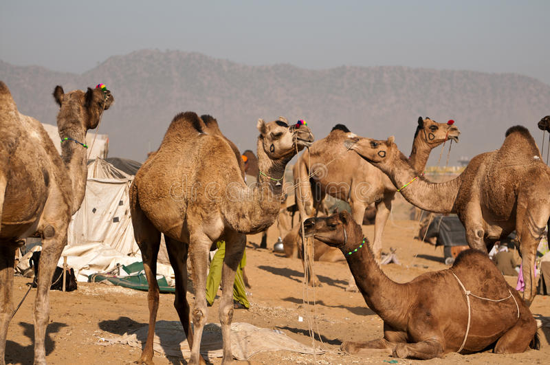 Camels for sale royalty free stock image
