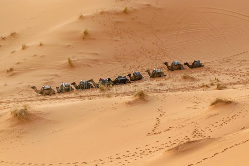 Camels sitting in a row in desert stock photos