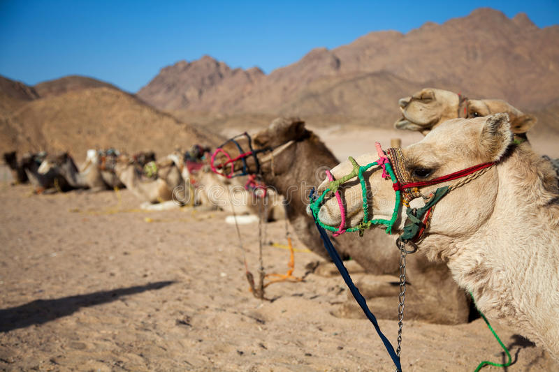 Camels sitting on the sand in the desert. In the sun stock photography