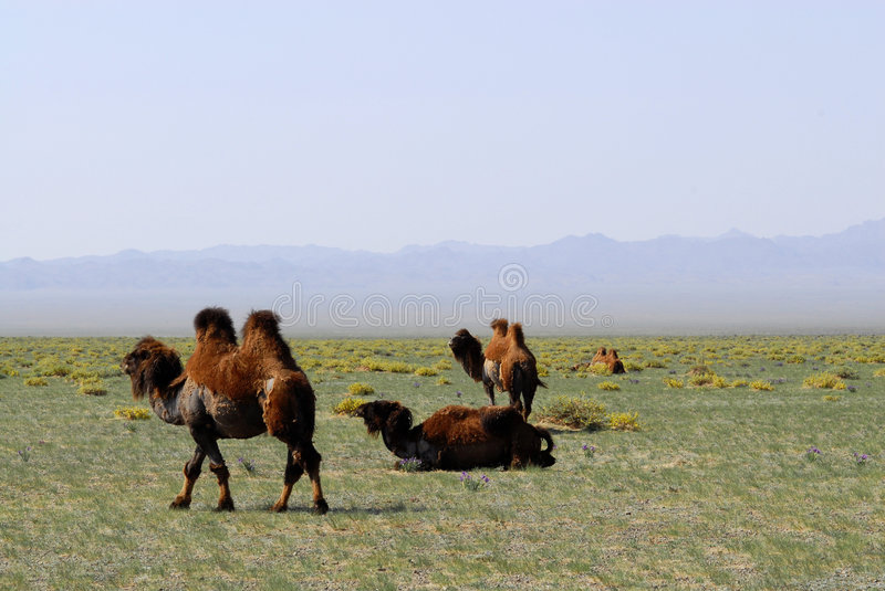 Camels on the steppes, Mongolia. A nomadic herder's camels grazing on the steppes of south-central Mongolia stock photos