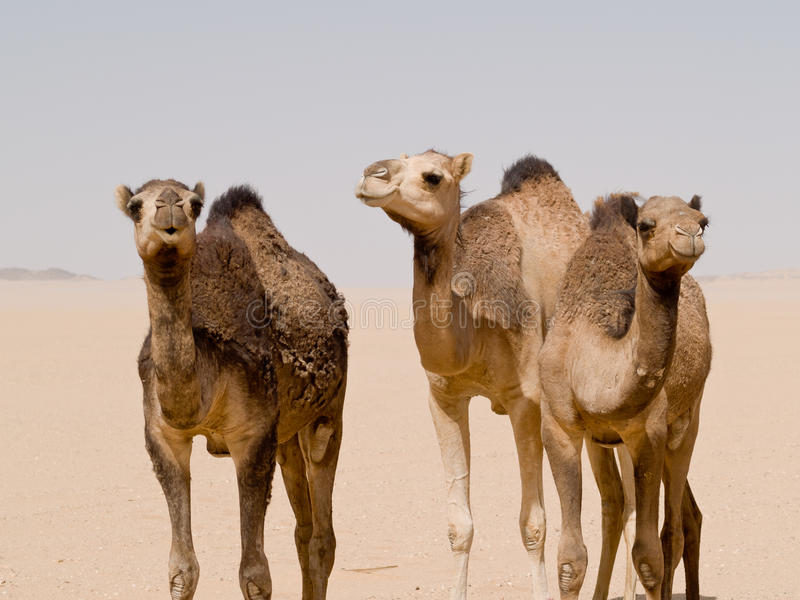 Camels stood in the desert. Three camels stood in the desert, Yemen stock image