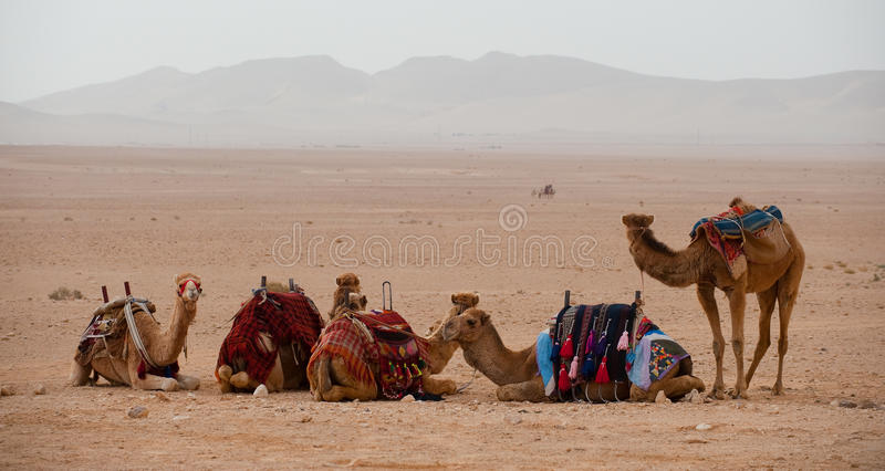 Camels in the Syrian desert royalty free stock photography