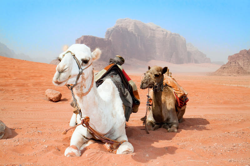 Camels take a rest in Wadi Rum red desert. Jordan royalty free stock image