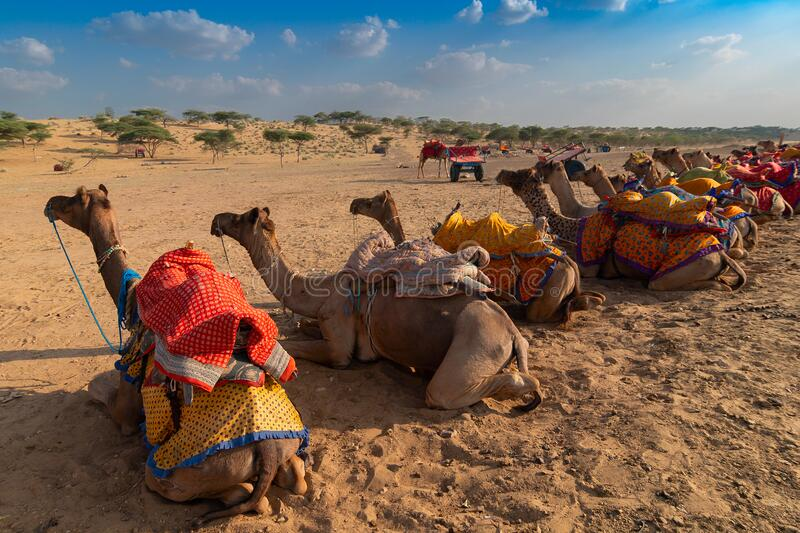 Camels of Thar desert , Rajasthan, India. Camels with traditioal dresses, are waiting in series for tourists for camel ride at Thar desert, Rajasthan, India stock photo