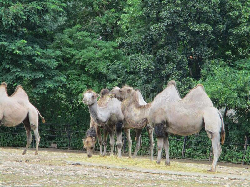 Camels together at the zoo. Camels eating in the zoo, even-toed, wildlife, mammalia, asia, two-humped, animal, nature, bactrian, mongolian, camelus, food stock photo