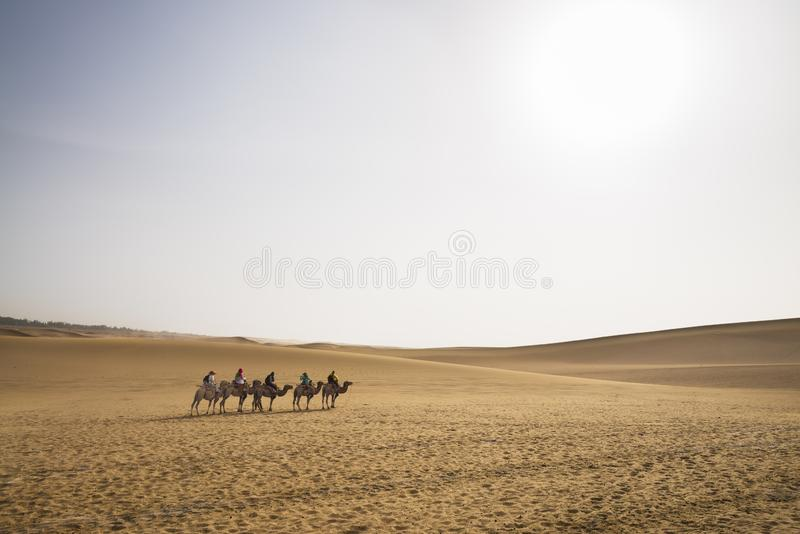 Camels trekking guided tours in Gobi Desert, China. Camel caravan through the sand dunes is a popular activity for tourists.  stock photo