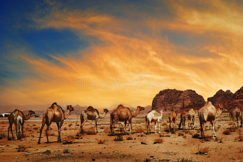 Camels in Wadi Rum stock photography