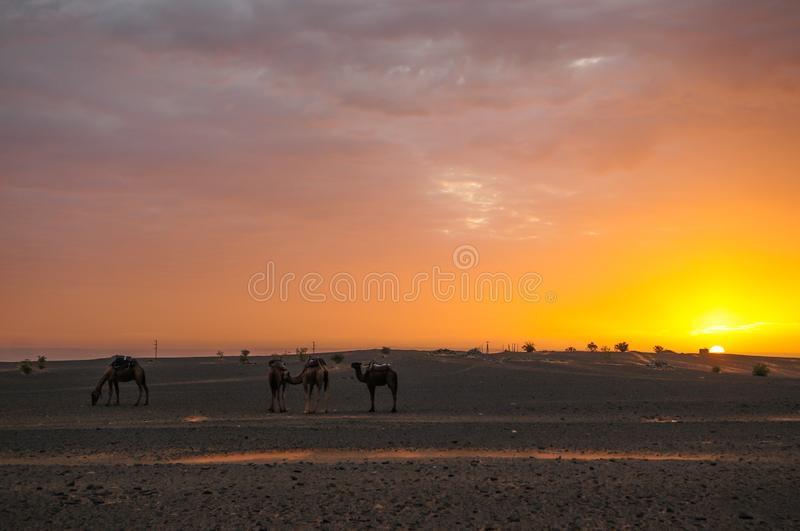 Camels waiting for sunrise in the Sahara Desert. Morocco stock photos