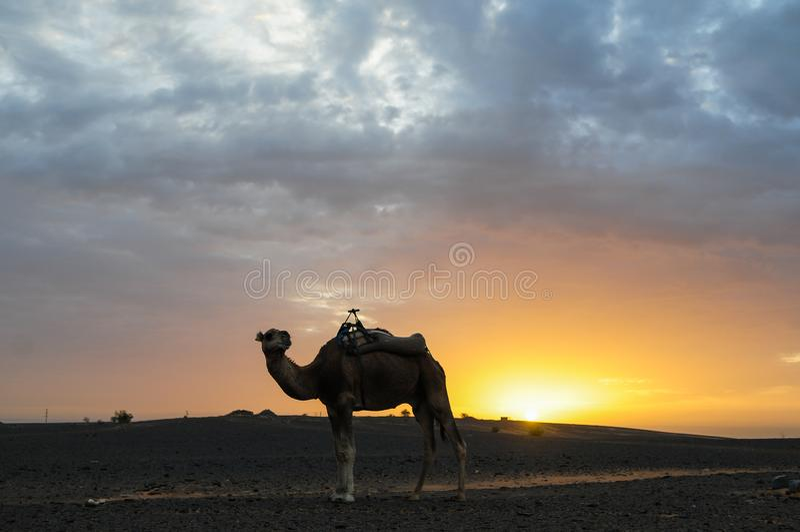Camels waiting for sunrise in the Sahara Desert. Morocco stock image