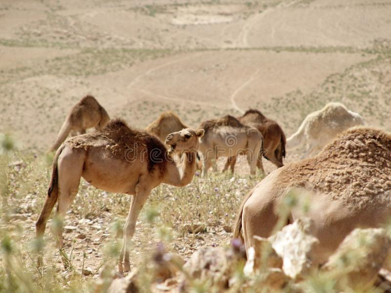 Camels on a walk in the desert. Camels that stopped for eating. They are captured during their walk in hot areas. The image is made in beige colors that are royalty free stock photo