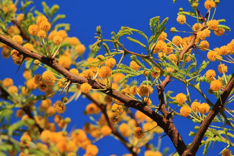 Camelthorn - African Spring Blossoms