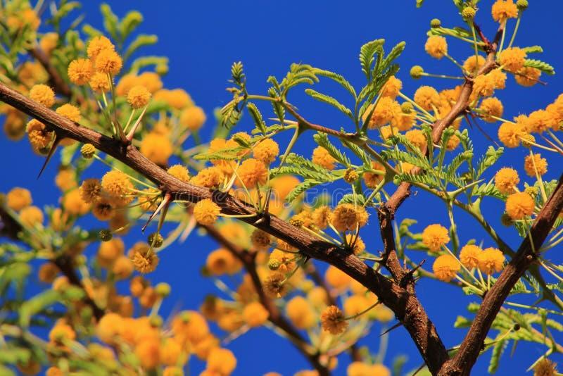 Download Camelthorn - Flores Africanas Da Mola Imagem de Stock - Imagem de bonito, gorgeous: 26501049