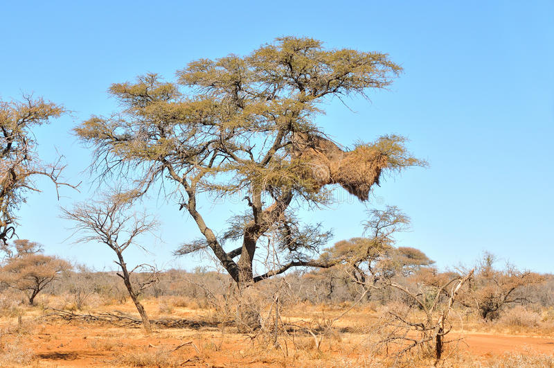 Camelthorn Tree with community nest stock photos