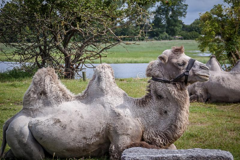 Camelus, artiodactyl mammal of the Camelidae family. Animal. Camelus, artiodactyl mammal of the Camelidae family royalty free stock photo