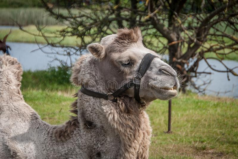 Camelus, artiodactyl mammal of the Camelidae family. Animal. Camelus, artiodactyl mammal of the Camelidae family royalty free stock images