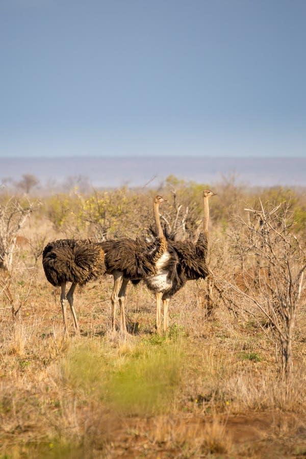 Camelus die van struisvogelstruthio door Savanne, Zuid-Afrika lopen stock foto