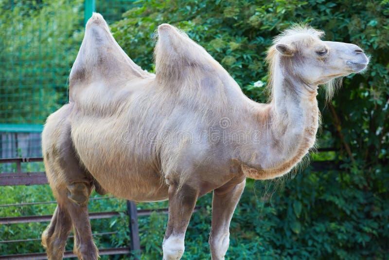 Camelusbactrianusen för Bactrian kamel royaltyfria bilder