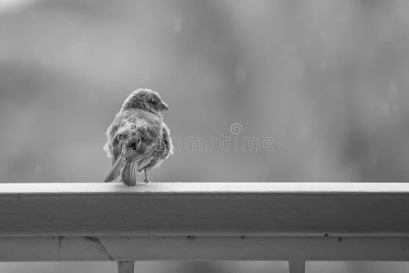 Camera lanuginosa Finch Bird di immagine in bianco e nero con la goccia di pioggia sulla B fotografie stock libere da diritti