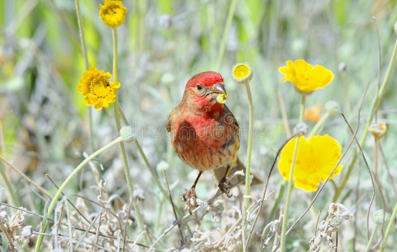 Camera maschio Finch Feeding sul baccello del seme fotografie stock libere da diritti