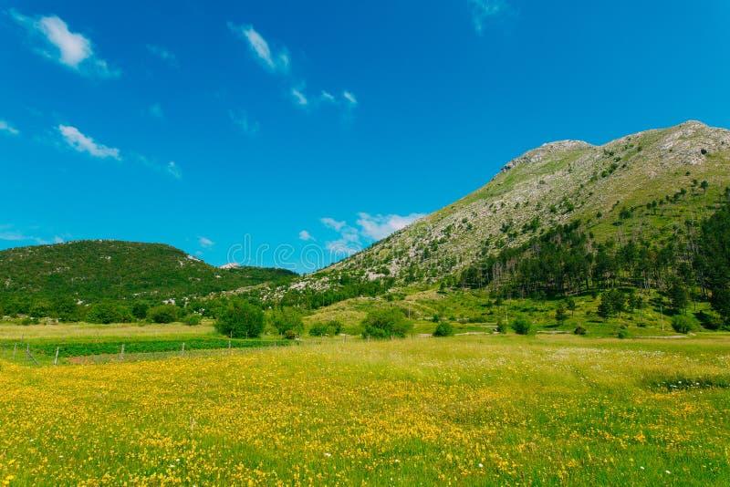 Camera su un prato con i fiori gialli Il villaggio Njegusi nel Mo fotografie stock