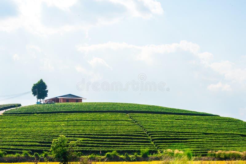 Camera sulla piantagione di tè immagini stock