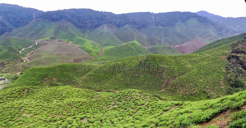 Tea plantations in Malaysia. Cameron Highlands is the largest tea-growing region in Malaysia - home to vast plantations of this valuable crop that carpet the stock image