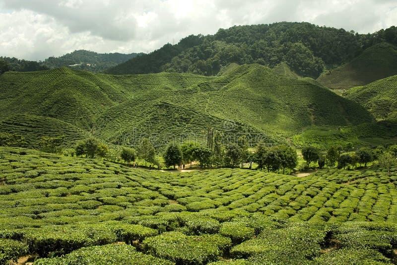 Cameron highlands in malaysia, panorama royalty free stock photos