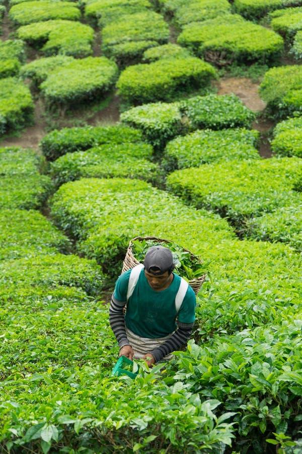 Cameron Highlands, Pahang Malaysia - CIRCA June 2016: Male Worker Picking Tea Leaves at Tea Plantation stock photography