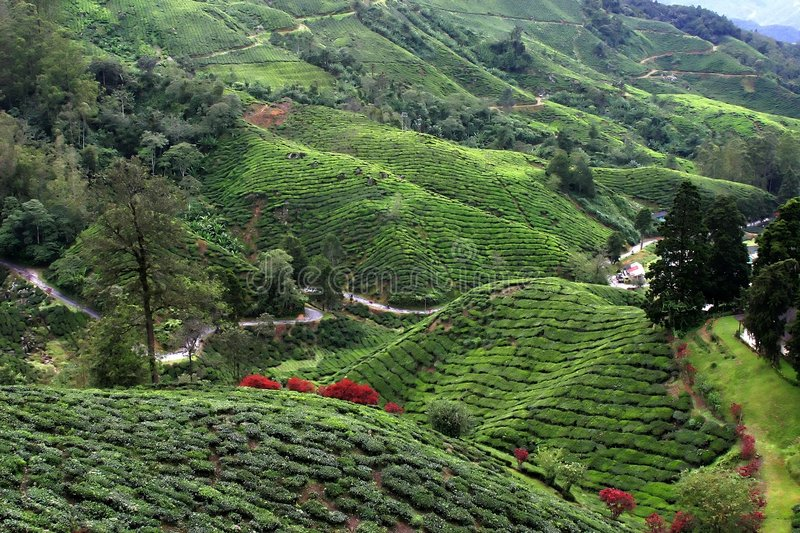 Cameron Highlands Tea Plantation Fields stock image