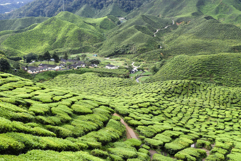 Cameron Highlands Tea Plantation Malaysia stock photo